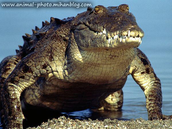 گالری عکس تمساح-کرکردیل