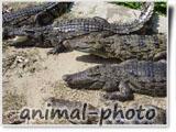 عکس بچه تمساح خطرناک