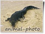 عکس بزرگ از تمساح بزرگ