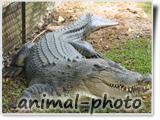 کرکدیل تمساح