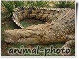corcodile photo gallery
