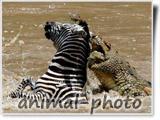 صحنه شکار تمساح