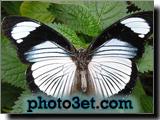 عکس پروانه سفید و سیاه