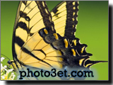 عکس پروانه ببری طرح دار
