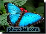 پروانه آبی