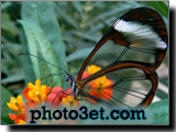 پروانه ای با بال های شیشه ای عجیب