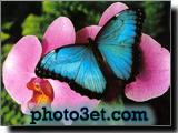 پروانه آبی رنگ در روی گل صورتی