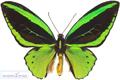 عگس پروانه سبز خوشگل