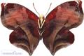 پروانه خوشگل و زیبا و کمیاب