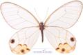 عکس پروانه شفاف و بی ر رنگ