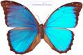 زیبا ترین پروانه دنیا