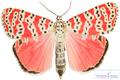 پروانه سمی قرمز