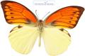 پروانه دو رنگ جالب