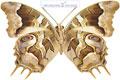 عکس پروانه قهوه ای رنگ