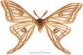 پروانه دم بلند خوشگل