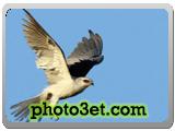 شاهین در حال پرواز کردن