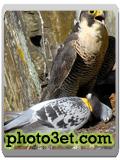 شکار پرندگان - شاهین
