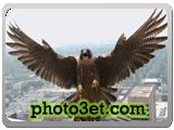 حمله پرنده شاهین به انسان