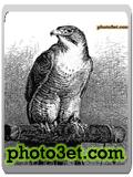 تصویر نقاشی شده شاهین سیاه و سفید