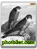 نقاشی پرندگان-شاهین