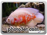 ماهی گوشت خوار - ماهی اسکار