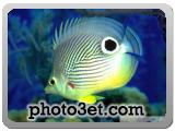 روش استتار ماهی آکواریومی - دم چشمی