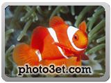 ماهی نمو - صورتی  سفید راه راه