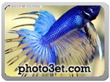 ماهی کپور آبی