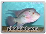 عکس ماهی فلاور حورن
