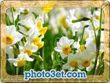 عکس مزرعه گل نرگس