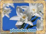 تصاویر گل نرجس سفید خوشگل