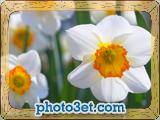 گالری عکس گل نرگس