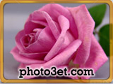 pink roze flower picture