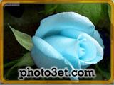 تصویر گل رز با رنگ آبی فیروزه ای