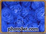 blue roze butifull