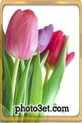 عکس گل لاله خوشگل و زیبا