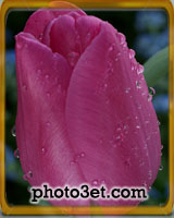 beautiful pink tulip flower photo gallery
