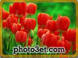 عکس گل لاله سرخ رنگ