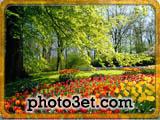 جشنواره گل ها کشور هلند - گل لاله