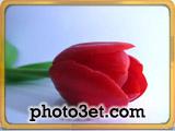 تصویر گل لاله خوشگل