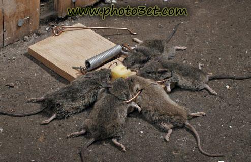 عکس خنده دار حیوانات -موش ها