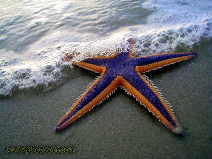 ستاره دریایی زیبا