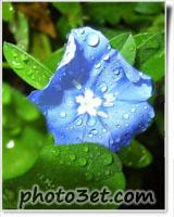 گل آبی خوشگل زیبا